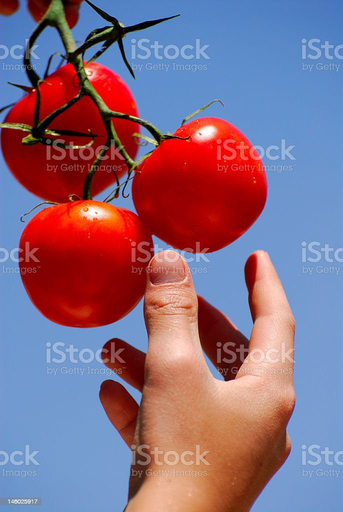 Hand-Picking Summer Fresh Tomatoes stock photo