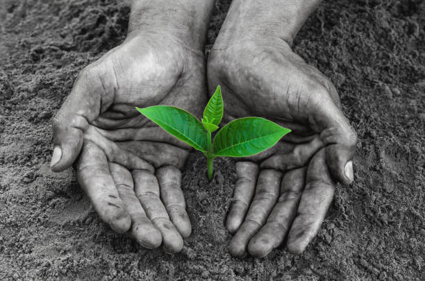 hands black holding and caring a young green plant - foto stock