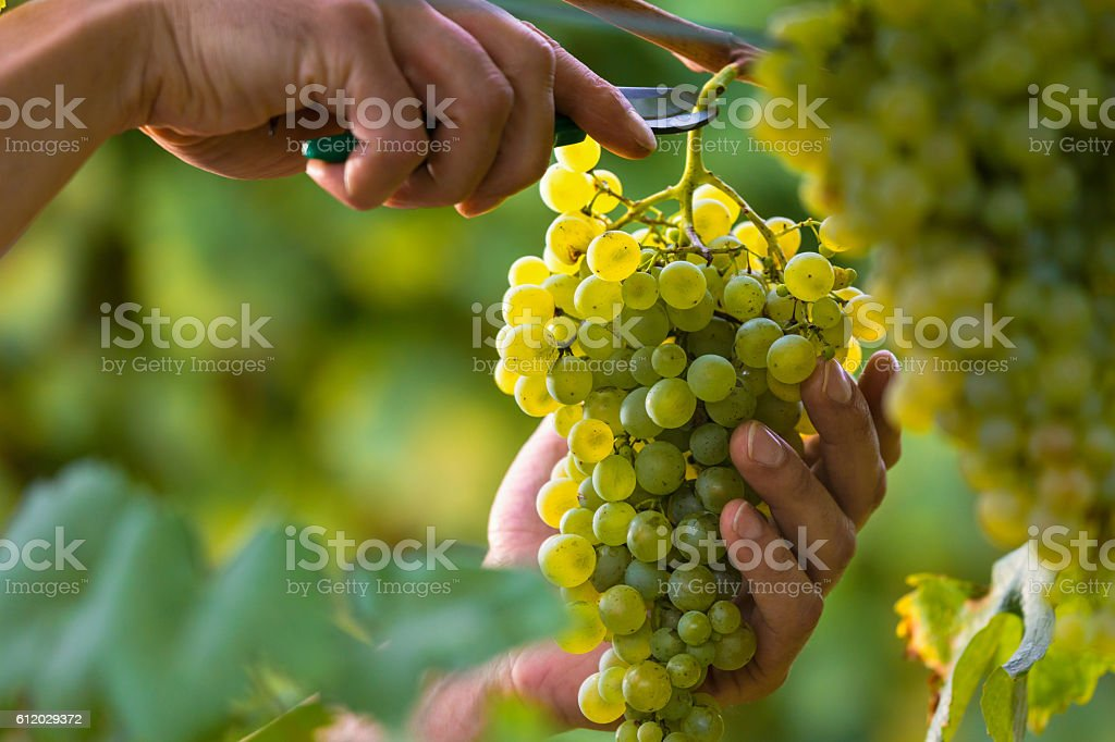 Hands Cutting White Grapes from Vines stock photo