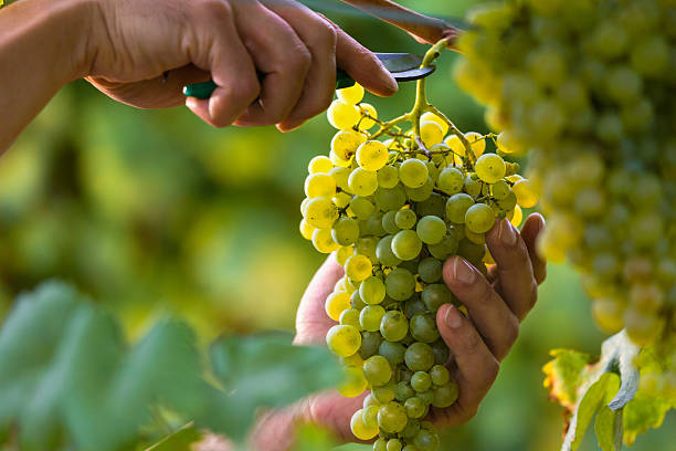 hands cutting white grapes from vines - 提子 個照片及圖片檔