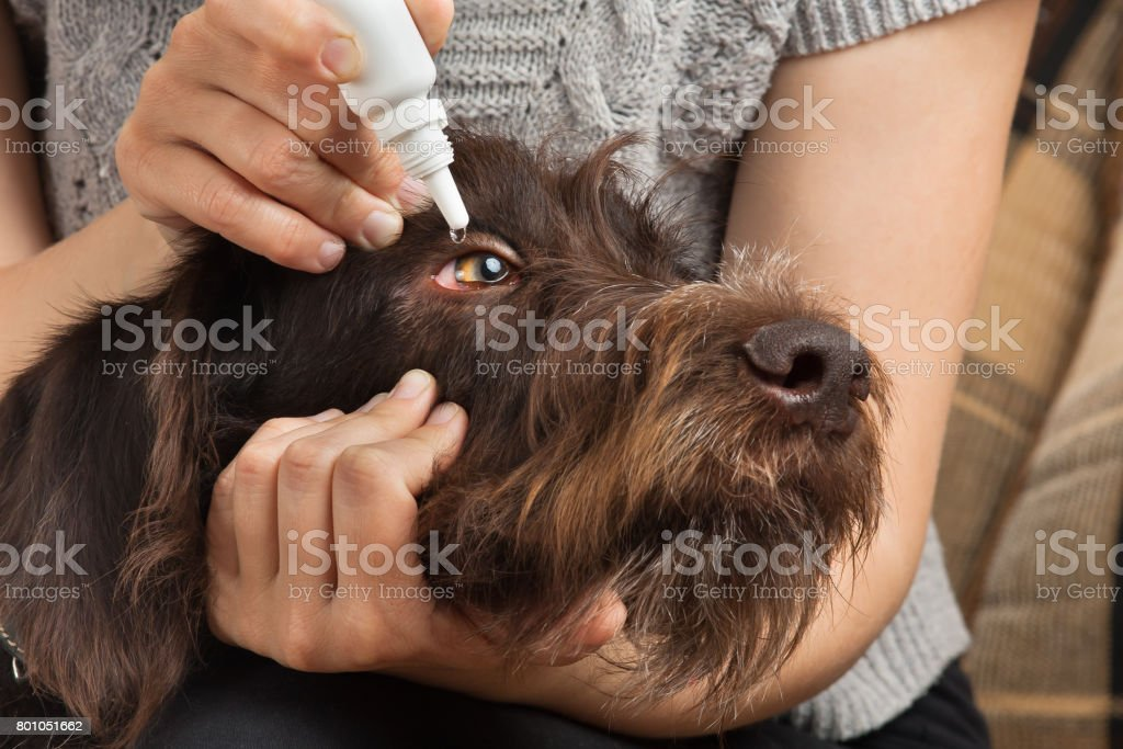 hands dripping drops to eyes of dog stock photo