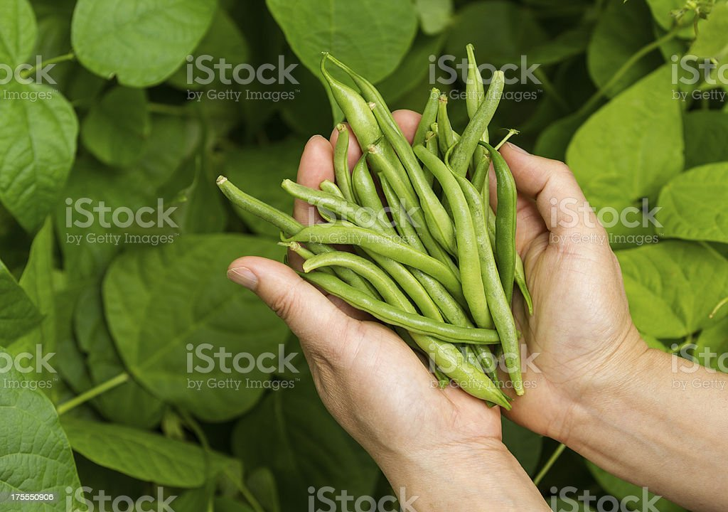 Hands filled with Fresh Green Beans from the Garden stock photo