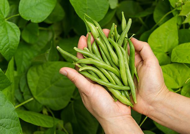 손을 충원됨 신선한 녹색 빈이 garden - 그린빈 뉴스 사진 이미지