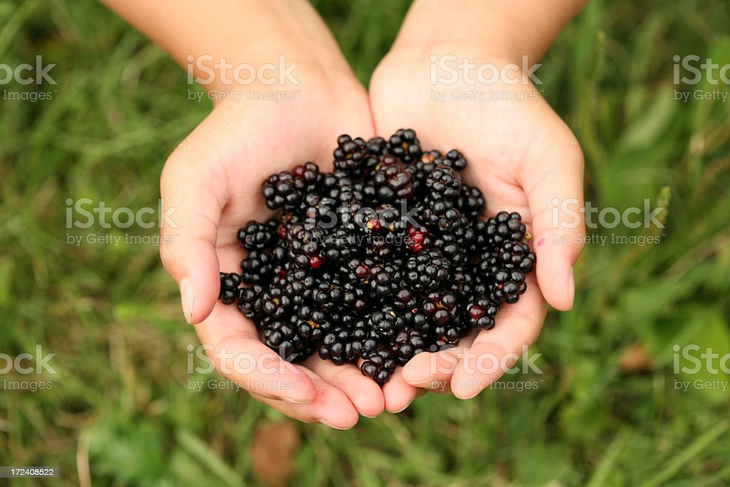 Hands Full of Fresh Picked Blackberries royalty-free stock photo