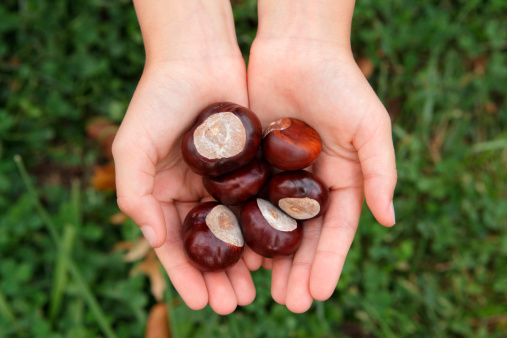 Hands full of horse chestnuts in autumn