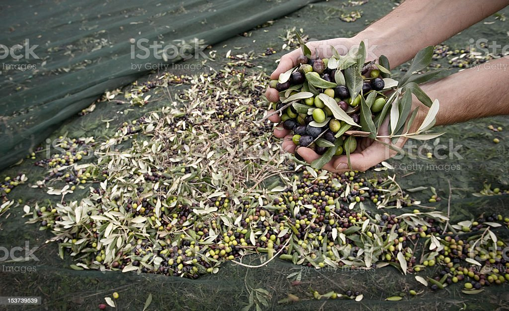 Hands Full of Olives during Harvesting royalty-free stock photo