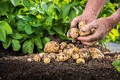 Hands harvesting fresh potatoes from soil