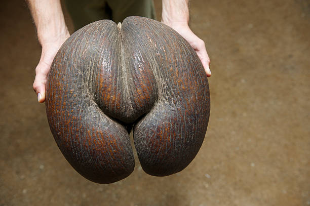 Hands Hold Out a Voluptuous Coco de Mer Seed stock photo