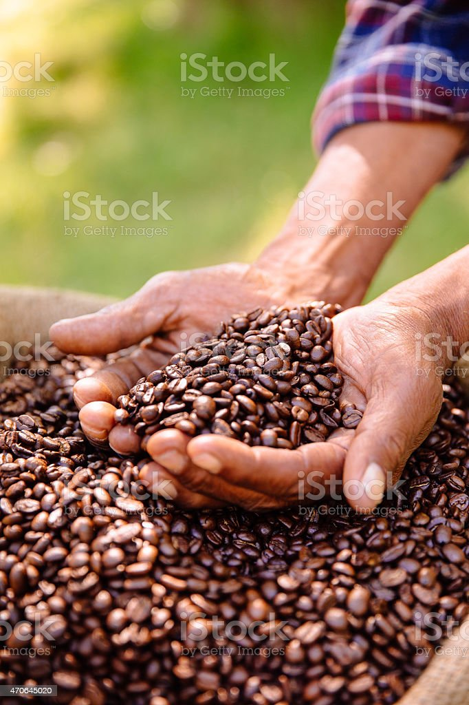 Hands holding a crop of aromatic coffee beans stock photo