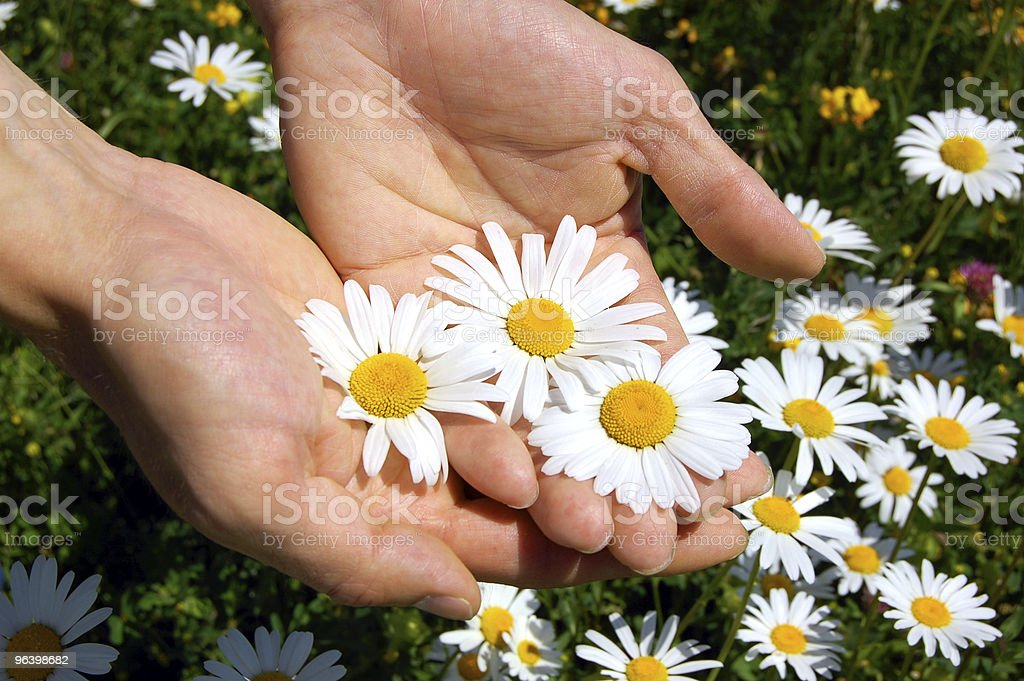 hands holding a daisy - Royalty-free Chamomile Stock Photo