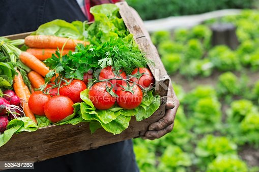 Old man's hands holding a crate full of fresh and raw vegetables-carrot, tomato, turnib, parsley, dill and lettuce. Field with lettuce plants on background.