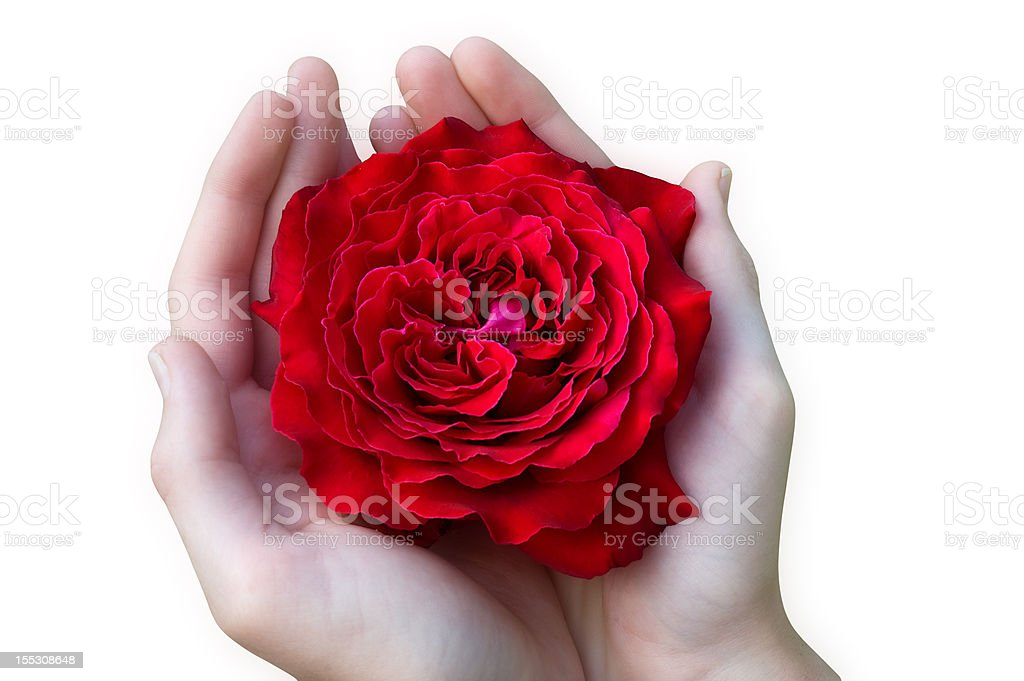 Hands holding a red rose-isolated on white stock photo