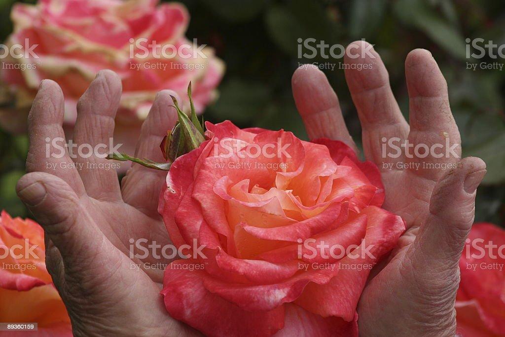 Hands holding a rose royaltyfri bildbanksbilder