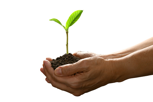 1089961140 istock photo Hands holding and caring a green young plant isolated on white background 1128690989