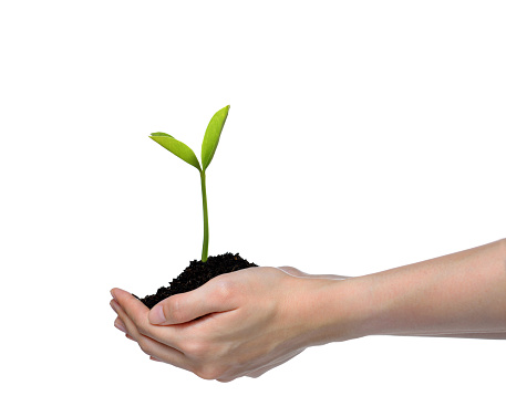 1089961140 istock photo Hands holding and caring a green young plant isolated on white background 1128690990