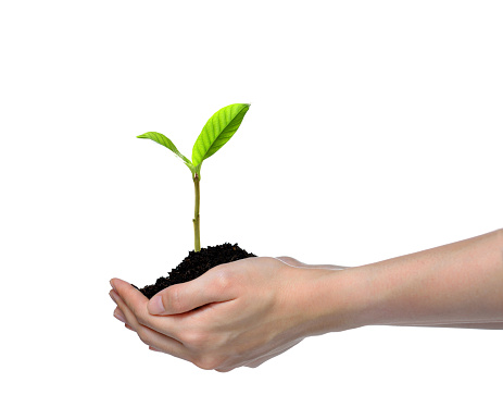 1089961140 istock photo Hands holding and caring a green young plant isolated on white background 1128690996