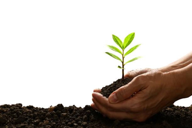 손을 잡고 흰색 배경에 고립 된 녹색 젊은 식물을 돌보는 - 재배 식물 뉴스 사진 이미지