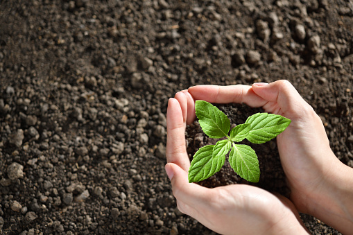 637583458 istock photo Hands holding and caring a green young plant 1184767087