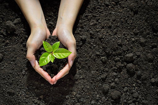 637583458 istock photo Hands holding and caring a green young plant 637583458