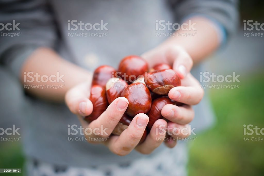 hands holding autumn chestnuts stock photo