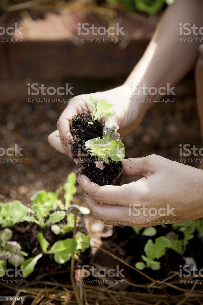Hände holding baby-Salat – Foto