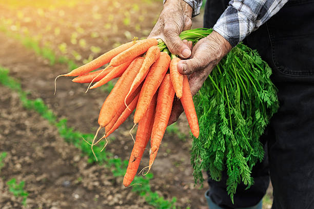 hands holding bunch of carrots - organic farm stock photos and pictures