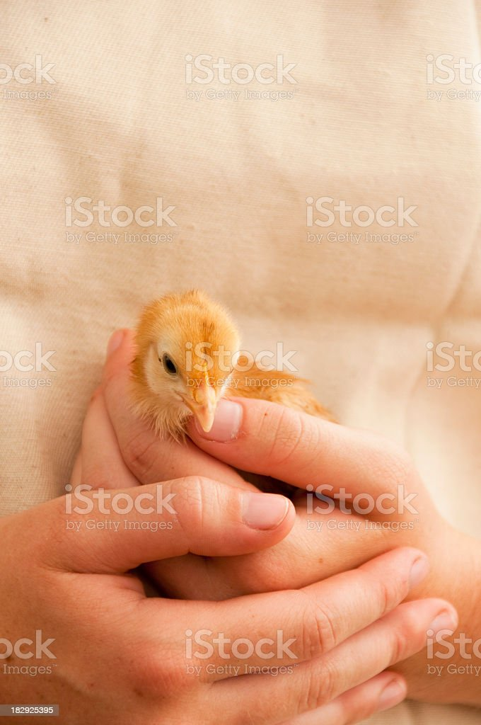hands holding chick royalty-free stock photo
