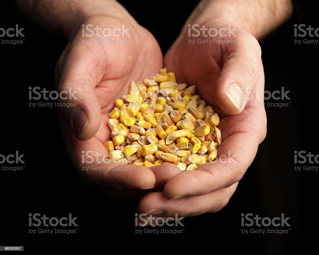hands holding corn kernels royalty-free stock photo