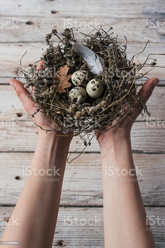 Hands holding Easter quail eggs in a small nest stock photo