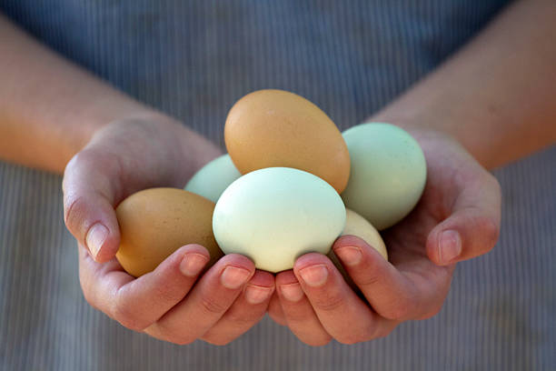 hands holding eggs - frigående bildbanksfoton och bilder