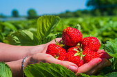 Hands holding fresh collected strawberries on the field. Side shot with sky and trees on background.