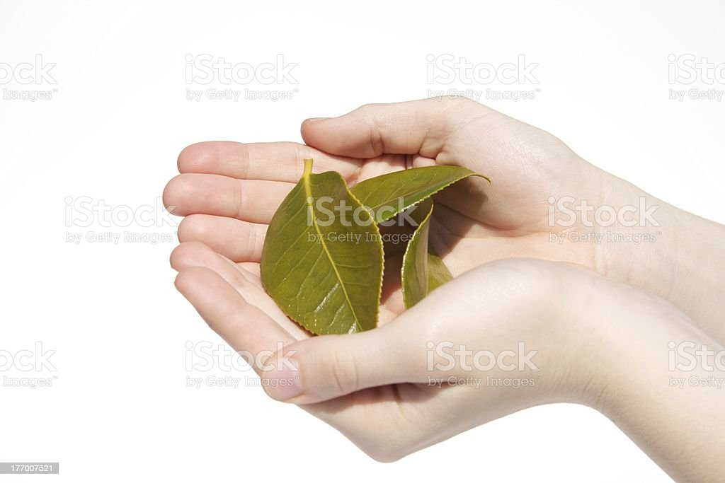 Hands Holding Green Leaves from Garden stock photo