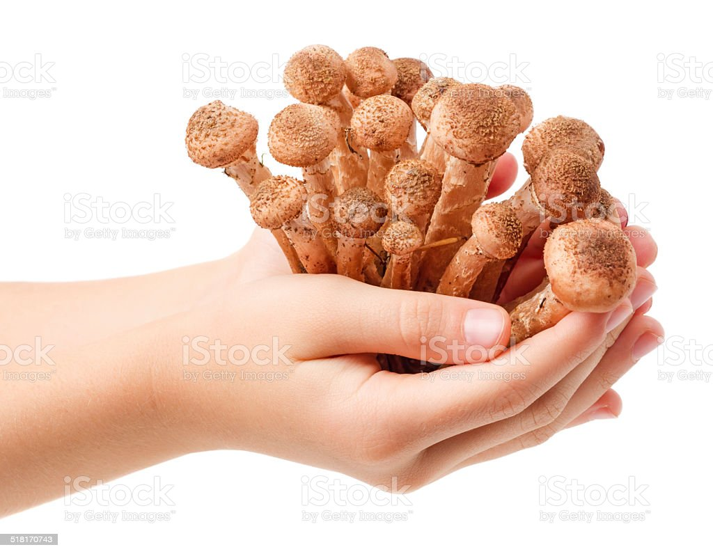 Hands holding mushrooms isolated stock photo