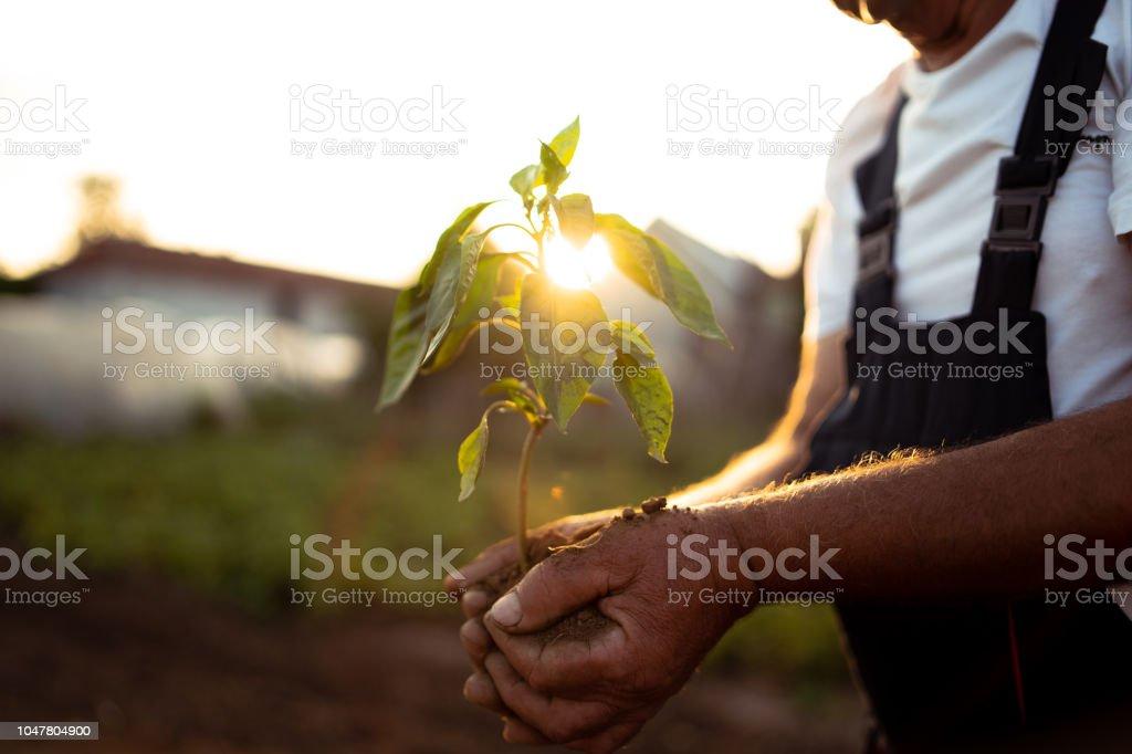 在日落時手捧起新的生長植物 - 免版稅人圖庫照片
