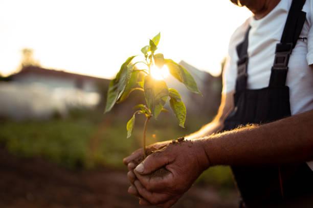 在日落時手捧起新的生長植物 - 耕種環境 個照片及圖片檔