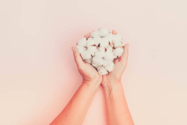 Hands holding raw cotton buds stock photo