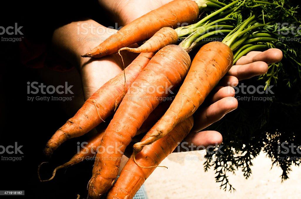 Hands holding raw fresh carrots stock photo