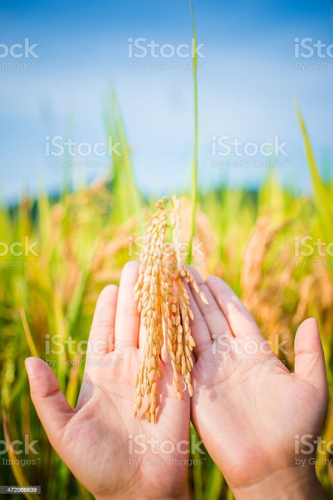 Hands Holding Rice Crop stock photo