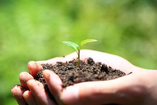 Hands holding seedlings stock photo