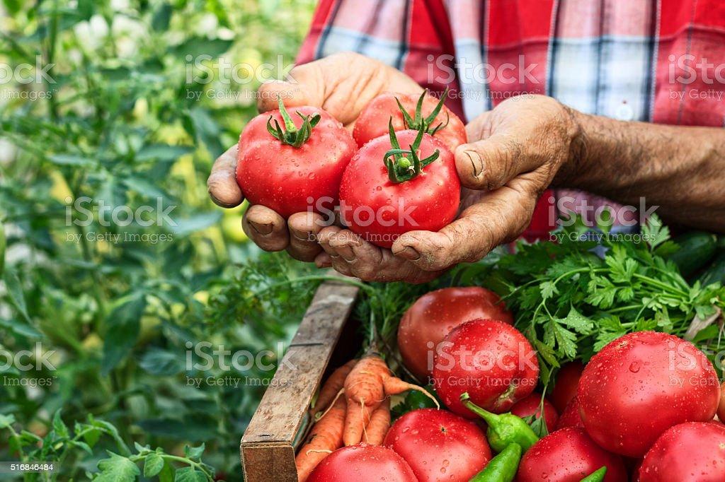 Hands holding tomato harvest stock photo