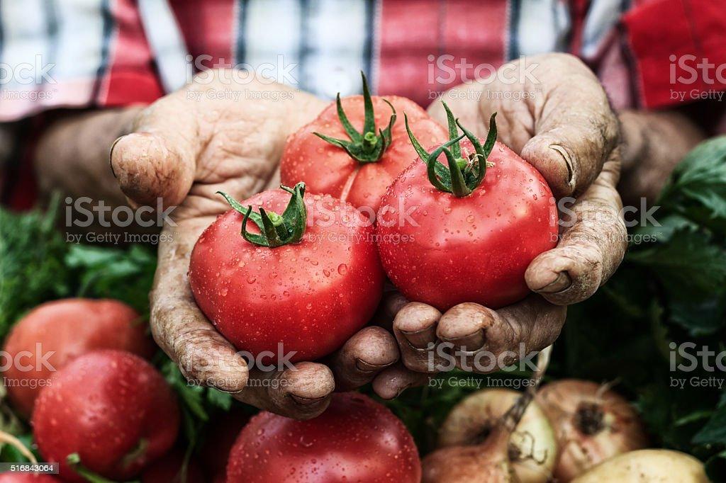 Mani con pomodoro vendemmia-cluse fino - foto stock