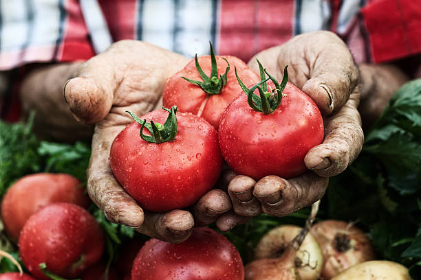 Hands holding tomato harvest-cluse up stock photo