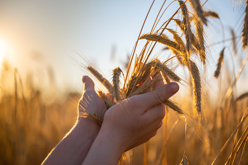 Hands holding yellow grass in the field