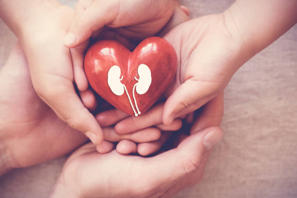 hands holiding red heart with kidney, world kidney day - organ donation stock pictures, royalty-free photos & images