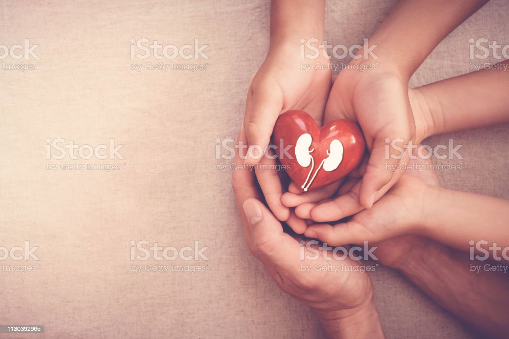 hands holiding red heart with kidney, world kidney day stock photo