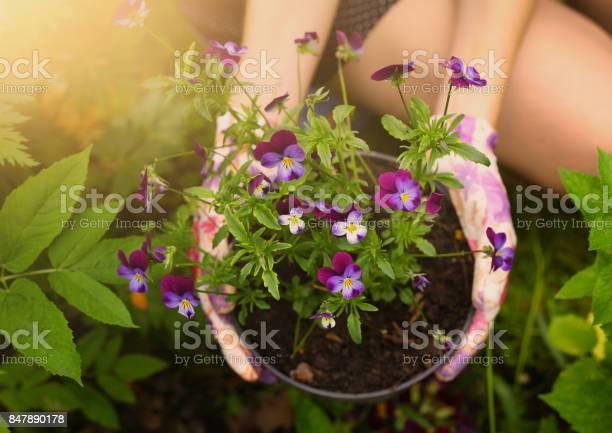 Hands in garden gloves hold pansy pot plan picture id847890178?b=1&k=6&m=847890178&s=612x612&h=sraoxkpwlilvfizdjm6lpt9ikhdhzmavwwexijnd2jw=