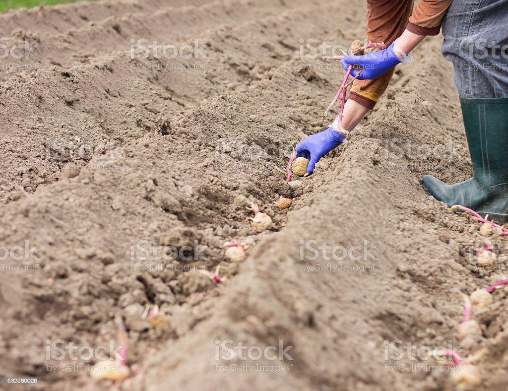 Hände in Handschuhe Pflanzen Kartoffel in den Boden – Foto