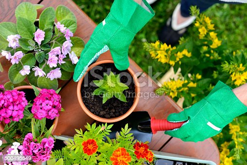 istock Hands in green gloves plant flowers in pot 500495549