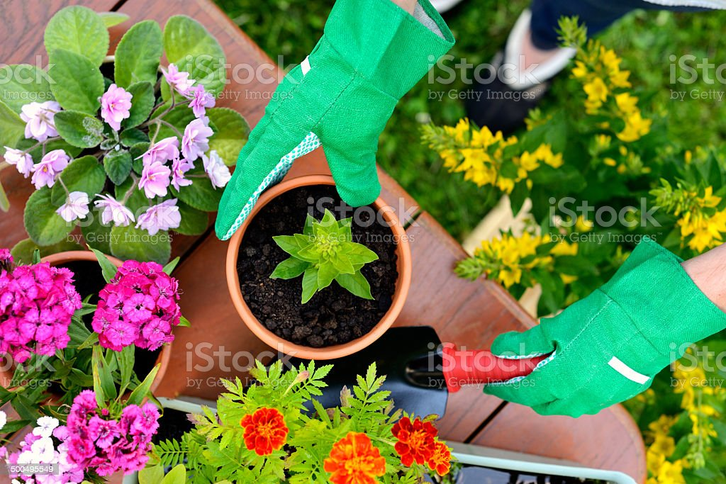 Hands in green gloves plant flowers in pot stock photo
