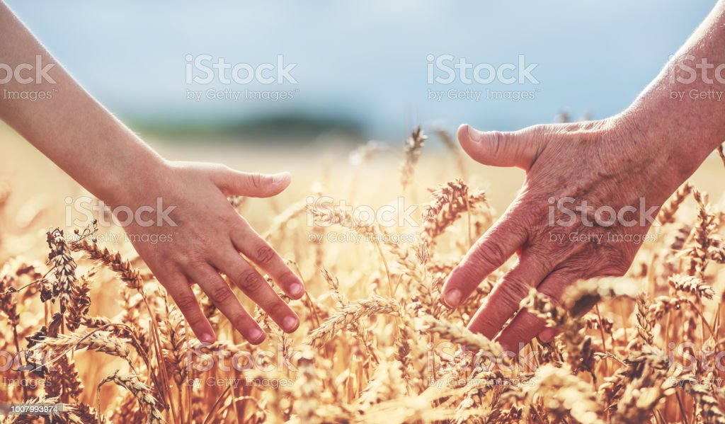 Hands in the wheat field. Harvest, lifestyle, family concept stock photo